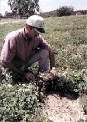 Посадки арахиса